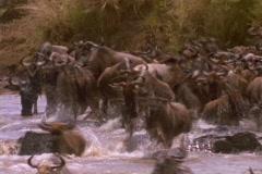 Wildebeests cross a river in Kenya, Africa. Stock Footage
