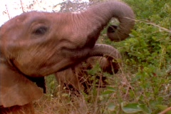 Elephants munch on trees in Kenya, Africa. Stock Footage