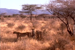 Cheetahs prowl the African plains. Stock Footage