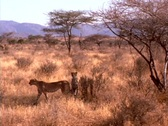 Stock Video Footage of Cheetahs prowl the African plains.