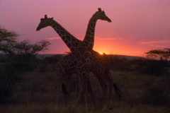 Giraffes stroll on the plains in Kenya, Africa. Stock Footage