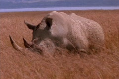 A rhinoceros grazes on the plains in Kenya, Africa. - stock footage