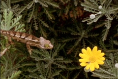 A lizard snatches a fly from a flower. Stock Footage