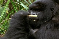 A gorilla munches on leaves in Rwanda, Africa. Stock Footage