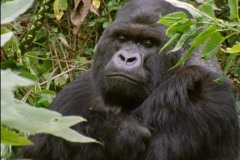 A gorilla peers through leaves in Rwanda, Africa. Stock Footage