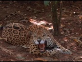 Stock Video Footage of Medium-shot of a jaguar lying in the shade and snarling.