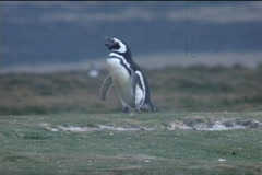 A Magellanic penguin warbles on a field on the Falkland Islands. Stock Footage