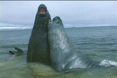 Elephant seals tussle for dominance in the Falkland Islands. Stock Footage