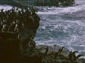Rockhopper penguins jump and dive off rocks near the ocean the Falkland Islands. Stock Footage