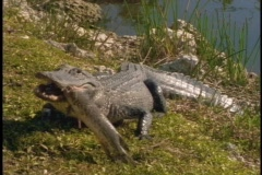 An alligator eats a fish on a river bank. Stock Footage