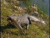 Stock Video Footage of An alligator eats a fish on a river bank.