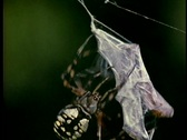Stock Video Footage of A spider wraps a captured insect in a web cocoon.