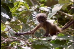 A baby monkey climbs in a tree. Stock Footage