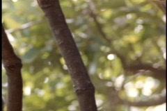 A jaguar rests on a sturdy tree branch. Stock Footage