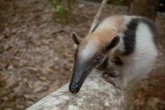 An anteater climbs a tree. Stock Footage