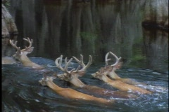 A herd of deer swims through a swamp. Stock Footage