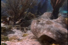 A stingray swims among sea plants. Stock Footage