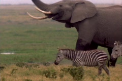 Elephants lock tusks behind a herd of zebra. Stock Footage