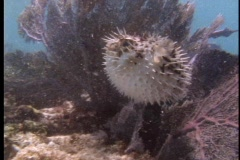 A pufferfish swims in tropical sea water. - stock footage