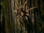 Stock Video Footage of A large spider crawls across the trunk of a tree.