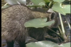 A raccoon wades through a shallow stream. Stock Footage