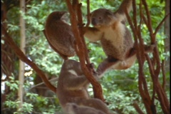 Koala bears play in tree branches. Stock Footage