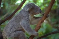 A koala bear climbs up a tree branch. Stock Footage