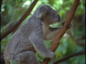 A koala bear climbs up a tree branch. Stock Footage