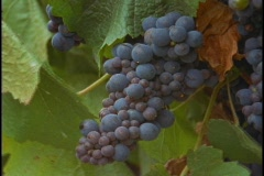 A bunch of grapes hang on a vine at a vineyard. Stock Footage
