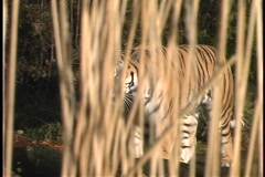 A tiger walks through the jungle. Stock Footage