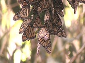 Stock Video Footage of Monarch butterflies hang from a tree branch.