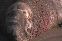 An elephant seal with a large nose sits on a beach. Stock Footage