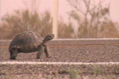 A desert tortoise walks across a road. Stock Footage