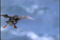 A Puffin flies through the air. Stock Footage