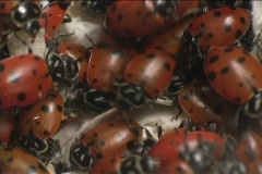 Red ladybugs swarm over each other. Stock Footage