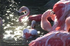 Pink-flamingos splash and groom themselves in a sunlit pool of water. Stock Footage