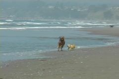 A large and small dog run along the shore together and then pick up a ball in Stock Footage