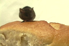 Medium shot of a mouse walking on a loaf of bread. Stock Footage