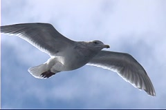 A seagull soars through the air. Stock Footage