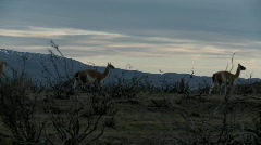 Gorgeous guanaco llamas walk across an open plain in Stock Footage