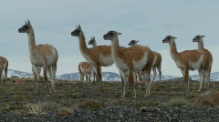 Guanacos stand together in formation  in the Andes Stock Footage