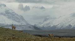 Gorgeous guanaco llamas walk across an open plain in - stock footage