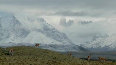 Guanacos stand together in formation in the distance  in - stock footage