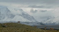Stock Video Footage of Guanacos stand together in formation in the distance  in