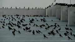 Pan across many black birds sitting in a parking structure Stock Footage