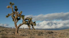 Time lapse of clouds moving behind yucca trees. Stock Footage