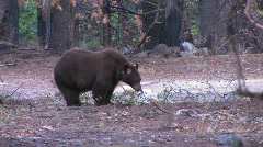 A tagged brown bear searches for food. - stock footage