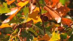 Autumn leaves from an oak tree shine in the sun. Stock Footage
