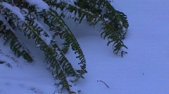 A fern rests in the snow. Stock Footage