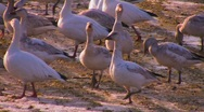 A flock of birds walk on soft ground. Stock Footage